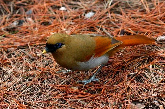 Buffy-Laughingthrush in Huangshan Mountain