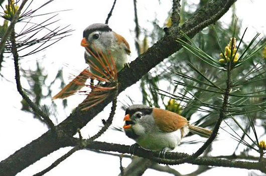 Grey-headed Parrotbill