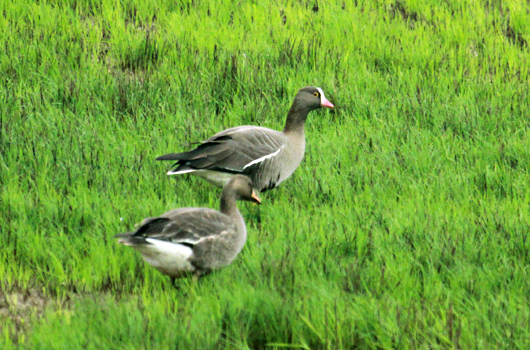 Lesser and Greater White-fronted Goose