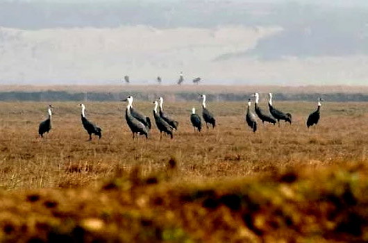 Hooded Cranes