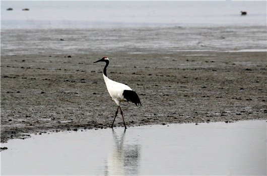 Red-crowned Crane-Yancheng