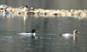 Chinese Scaly-sided Merganser