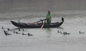 Cormorants Fishing at Poyang Lake