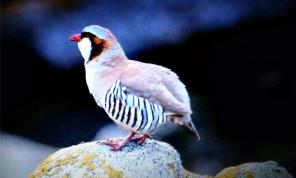 Rusty-necklaced Partridge