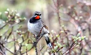 Chinese Rubythroat